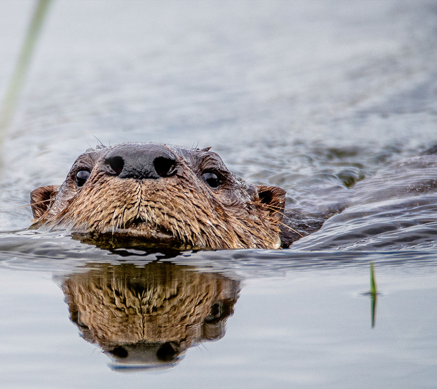 Otter in the water at Berkshire Lakes | Master Association